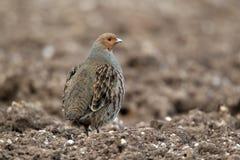 Grey partridge, Perdix perdix Stock Image