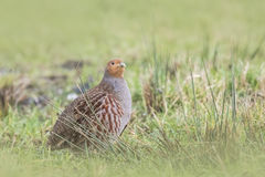 Grey partridge Perdix perdix sphagnetorum Stock Photos