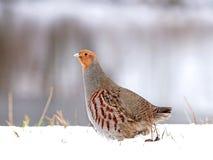 Grey partridge (Perdix perdix) Stock Images