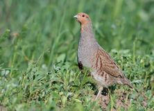 Grey partridge stands in the short grass field stock photo