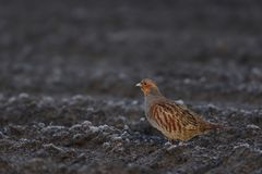 Grey partridge run on the field Stock Images
