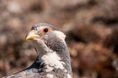 Grey partridge's head close-up Royalty Free Stock Photo