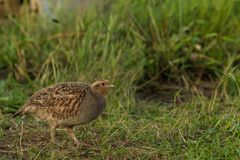 Grey partridge in search for food royalty free stock image
