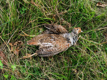 Grey partridge, shot - hunting Royalty Free Stock Images