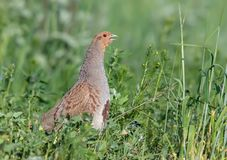 Grey partridge sings and calls loudly in green field stock images