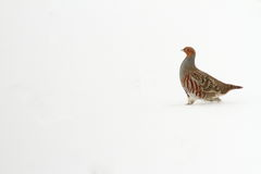 Grey partridge on snow Royalty Free Stock Images
