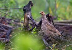 Grey partridge stands on burnt bare land after firestorm stock photography
