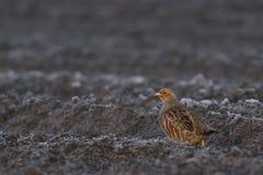 Grey Partridge sur le champ Photos stock
