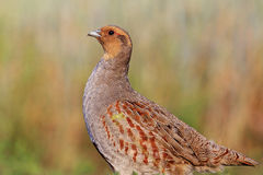 Grey partridge with a valid counter Stock Photos