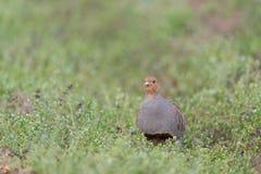 Grey partridge Royalty Free Stock Photos