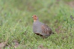 Grey partridge Royalty Free Stock Photo