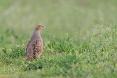 Grey partridge Stock Image
