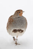 Grey partridge Stock Image