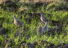 Grey Partridges images stock