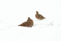 Grey partridges on snow Royalty Free Stock Photos