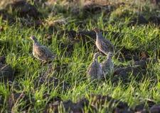 Grey Partridges stock images