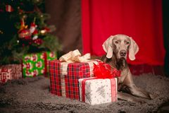 Grey Party dog Weimaraner in christmas decorations royalty free stock photography