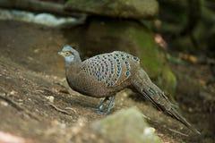 Grey Peacock-Pheasant royalty-vrije stock afbeelding