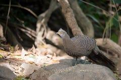 Grey Peacock-Pheasant in aard bij het nationale park van Meawong Royalty-vrije Stock Foto