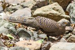 Grey Peacock-Pheasant (Polyplectron-bicalcaratum) in aard Royalty-vrije Stock Foto