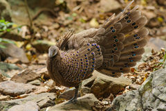 Grey Peacock-Pheasant (Polyplectron-bicalcaratum) in aard Royalty-vrije Stock Afbeeldingen
