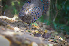 Grey Peacock Pheasant`s Family. A family of Grey Peacock Pheasant at Maewong National Park.Sometime his father spread tail-feathers  to  threaten the other birds Stock Photography