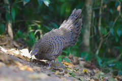 Grey Peacock Pheasant`s Family. A family of Grey Peacock Pheasant at Maewong National Park.Sometime his father spread tail-feathers  to  threaten the other birds Royalty Free Stock Photo