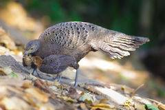 Grey Peacock Pheasant`s Family Royalty Free Stock Photo