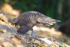 Grey Peacock Pheasant`s Family Stock Photo