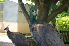 GREY PEAHENS IN AN ENCLOSURE Royalty Free Stock Photography