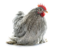 Grey Pekin rooster Royalty Free Stock Images