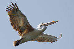 Grey pelican. THis is a pelican on flight Royalty Free Stock Photo