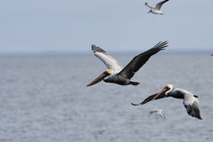 Grey Pelican. S hunting fish from the sea royalty free stock photos