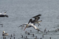 Grey Pelican. S hunting fish from the sea Stock Images
