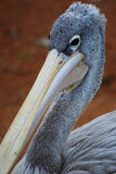 Grey pelican at the Bioparc. Valencia, Spain. Stock Photo