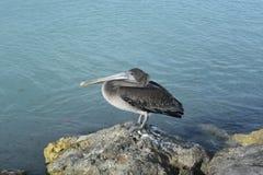 Grey Pelican con un becco lungo appollaiato su una roccia fotografia stock