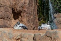 Grey Pelican no Bioparc em Valencia Spain o 26 de fevereiro de 2019 imagens de stock royalty free