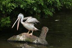 Grey pelican (Pelecanus philippensis) Stock Photos