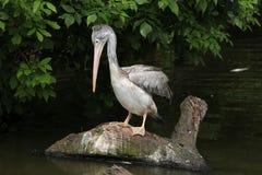 Grey pelican (Pelecanus philippensis) Royalty Free Stock Photos