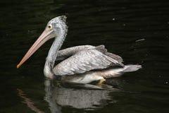 Grey pelican (Pelecanus philippensis) Stock Image
