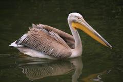 Grey pelican (Pelecanus philippensis). Royalty Free Stock Photography