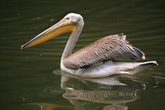 Grey pelican (Pelecanus philippensis). Stock Image