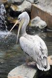Grey pelican (Pelecanus philippensis) Royalty Free Stock Photo