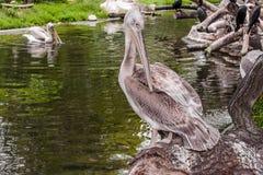 Grey pelican Pelecanus philippensis Stock Images