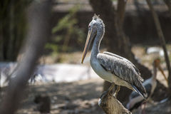 Grey pelican Stock Photography
