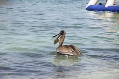 Grey pelican in the sea. Bird and the sea in the morning Stock Image