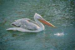 Grey Pelican sullo stagno fotografie stock libere da diritti