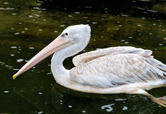 Grey pelican swimming in the pond Stock Images