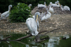 Grey pelicans. On the edge of a pond royalty free stock images