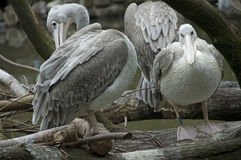 Grey pelicans. Sitting on a brach above the water stock photography